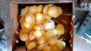 Dayold Chick for Sales   Livestock & Poultry for sale in Oyo State, Ibadan