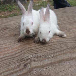 Hylamax Rabbits Weaners for Sale in Portharcourt   Livestock & Poultry for sale in Rivers State, Port-Harcourt