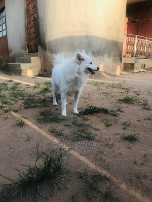 1+ Year Male Purebred American Eskimo | Dogs & Puppies for sale in Lagos State, Ogba