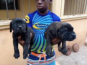 1-3 Month Female Purebred Boerboel | Dogs & Puppies for sale in Delta State, Ika South
