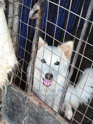 3-6 Month Male Purebred Samoyed | Dogs & Puppies for sale in Lagos State, Ikorodu