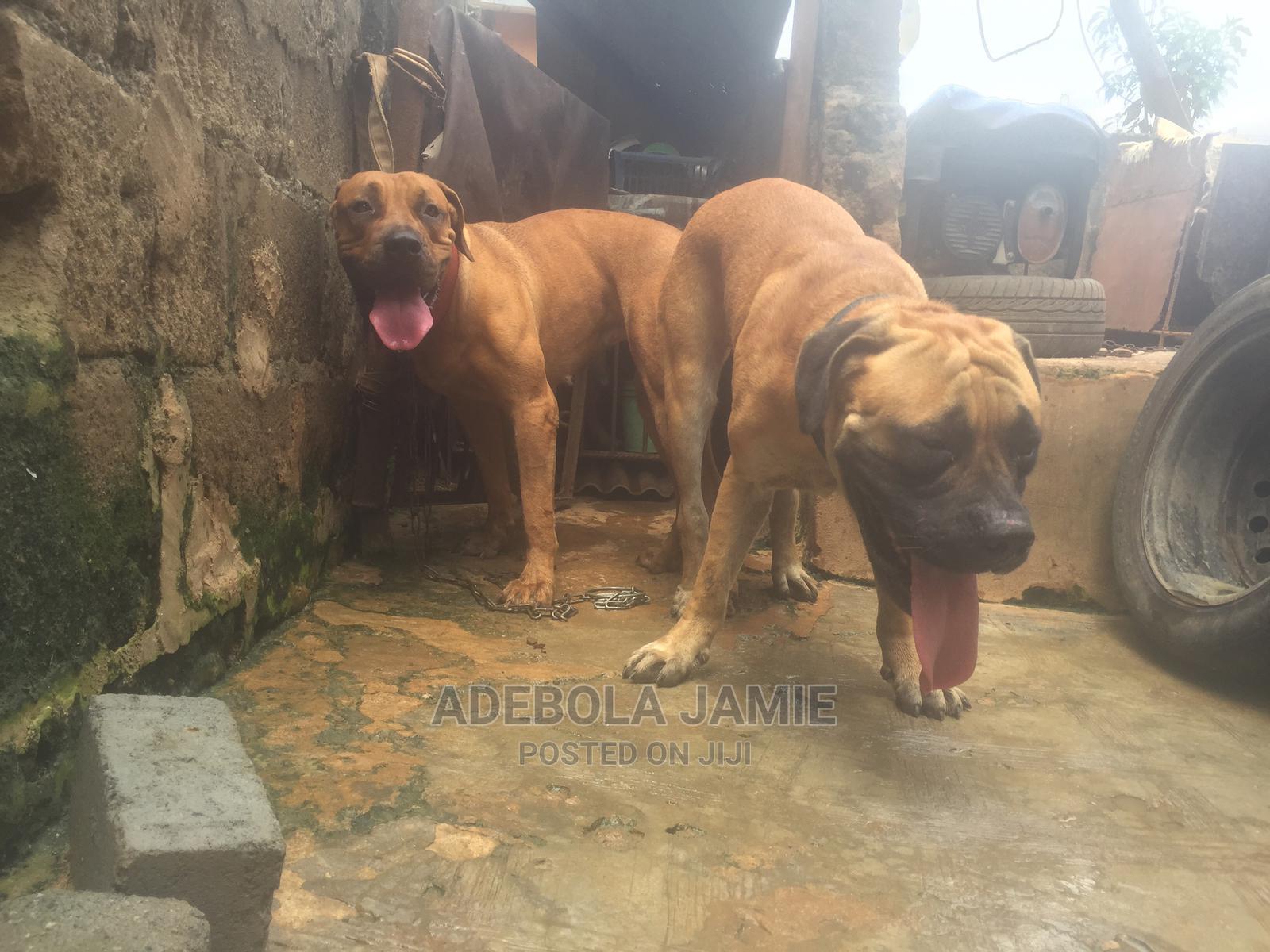 1+ Year Male Purebred Boerboel | Dogs & Puppies for sale in Ikorodu, Lagos State, Nigeria