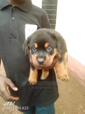 0-1 Month Male Purebred Rottweiler | Dogs & Puppies for sale in Enugu State, Enugu