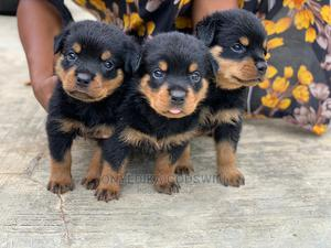 1-3 Month Female Purebred Rottweiler   Dogs & Puppies for sale in Akwa Ibom State, Uyo
