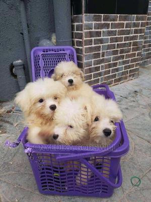 1-3 Month Female Purebred Lhasa Apso | Dogs & Puppies for sale in Akwa Ibom State, Uyo
