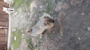 1-3 Month Female Purebred Caucasian Shepherd   Dogs & Puppies for sale in Akwa Ibom State, Uyo
