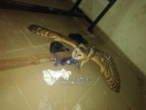 Bird: Golden Band Owl🦉 Rear And Beautiful, 80cm Span | Birds for sale in Abia State, Umuahia