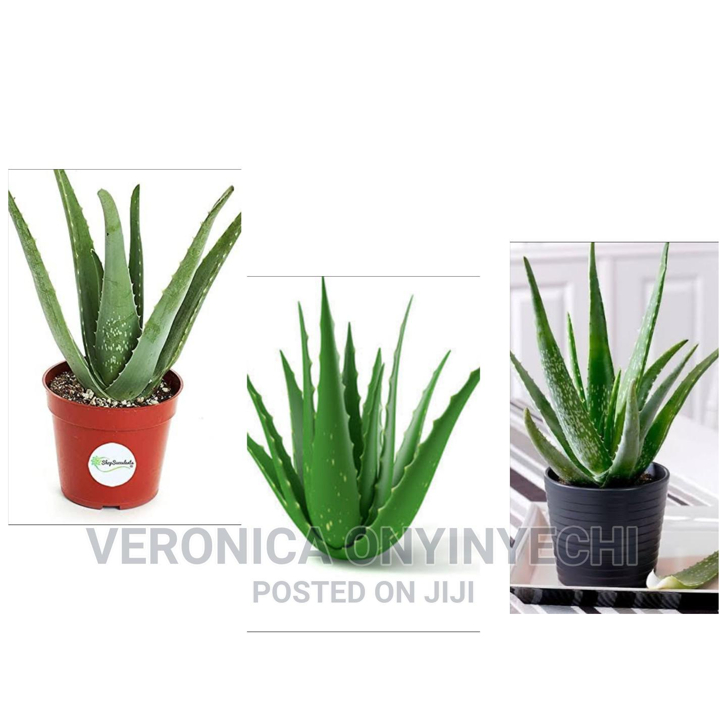 Aloevera Plant Seedlings | Feeds, Supplements & Seeds for sale in Ibadan, Oyo State, Nigeria