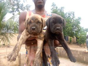 3-6 Month Male Purebred Boerboel | Dogs & Puppies for sale in Enugu State, Enugu