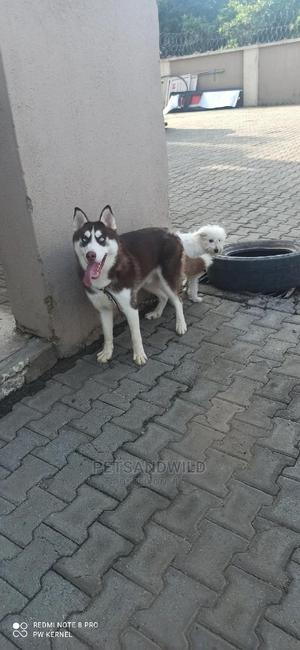 6-12 Month Male Purebred Siberian Husky | Dogs & Puppies for sale in Abuja (FCT) State, Lokogoma