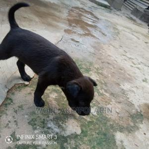 1-3 month Male Mixed Breed American Pit Bull Terrier   Dogs & Puppies for sale in Ogun State, Obafemi-Owode