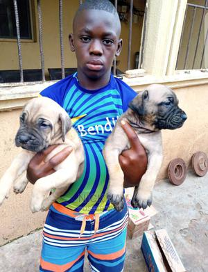 1-3 Month Female Purebred Boerboel   Dogs & Puppies for sale in Delta State, Ika South