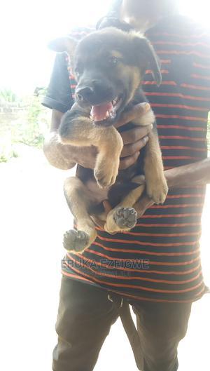 3-6 Month Male Purebred German Shepherd | Dogs & Puppies for sale in Enugu State, Enugu