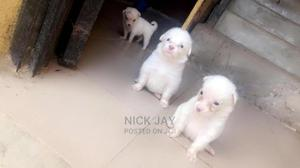 1-3 Month Female Purebred American Eskimo | Dogs & Puppies for sale in Lagos State, Agege