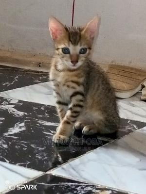 1-3 Month Female Purebred Other | Cats & Kittens for sale in Lagos State, Victoria Island