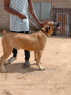 1+ Year Male Purebred Boerboel | Dogs & Puppies for sale in Abuja (FCT) State, Lokogoma