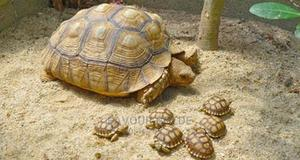Baby Sucatta Tortoise | Reptiles for sale in Lagos State, Surulere