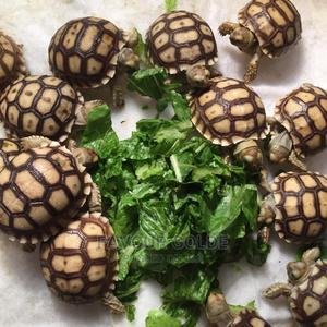 Baby Sucatta | Reptiles for sale in Lagos State, Surulere