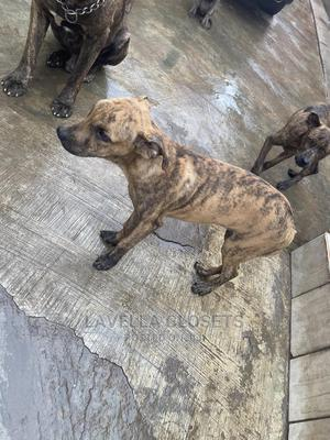 6-12 Month Male Purebred Boerboel   Dogs & Puppies for sale in Lagos State, Abule Egba