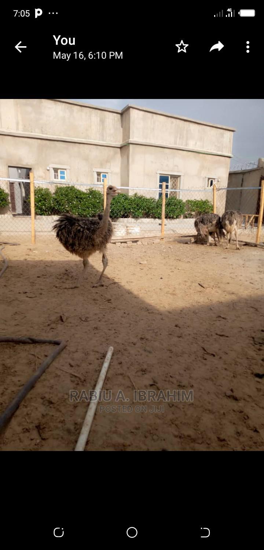 Archive: An Ostrich