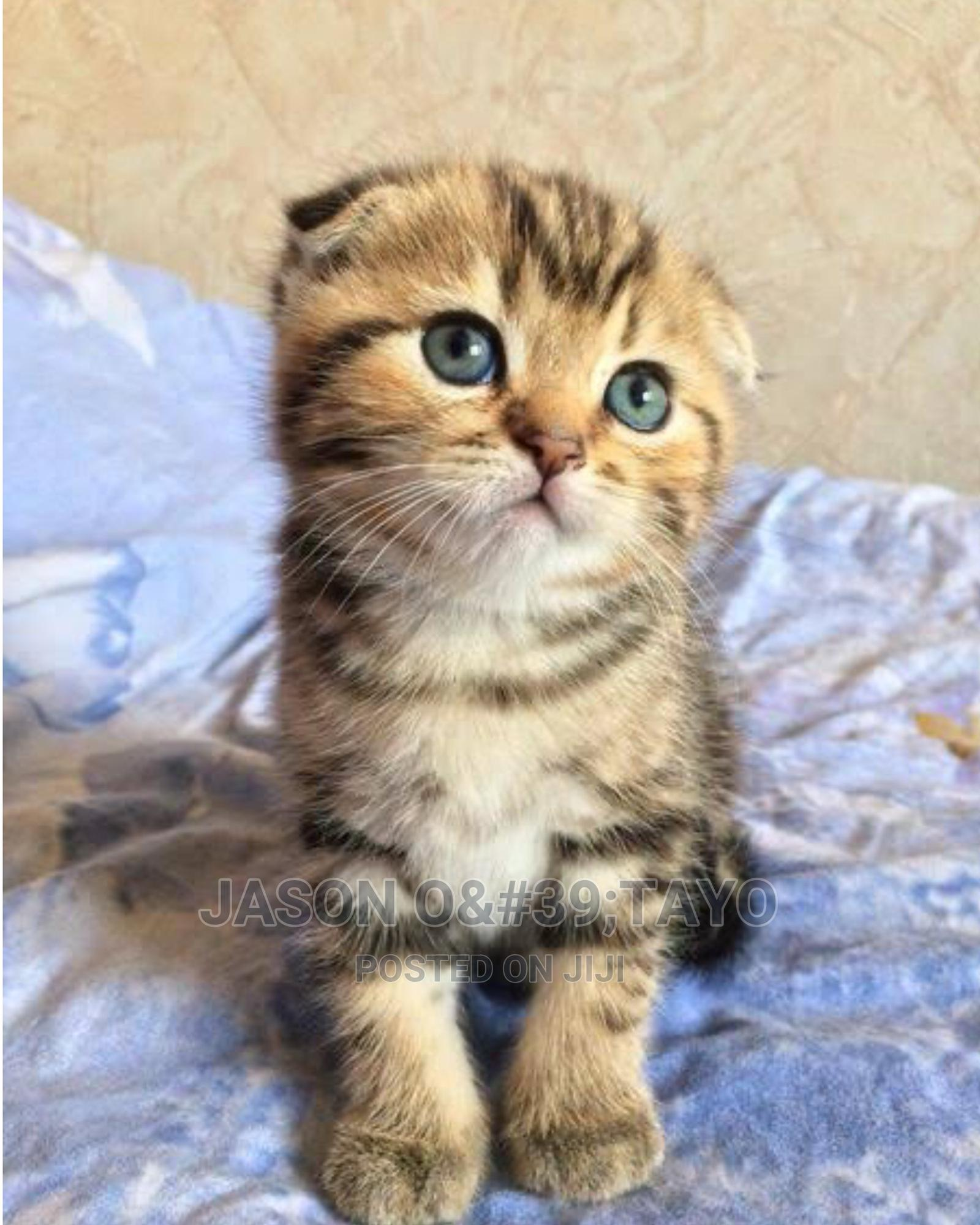 1-3 Month Male Purebred Scottish Fold   Cats & Kittens for sale in Ikoyi, Lagos State, Nigeria