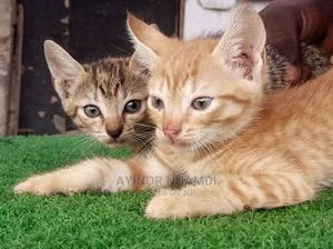 1-3 Month Male Purebred Cat | Cats & Kittens for sale in Lagos State, Amuwo-Odofin