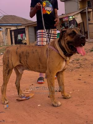 Adult Male Purebred Boerboel for Stud   Pet Services for sale in Lagos State, Ifako-Ijaiye