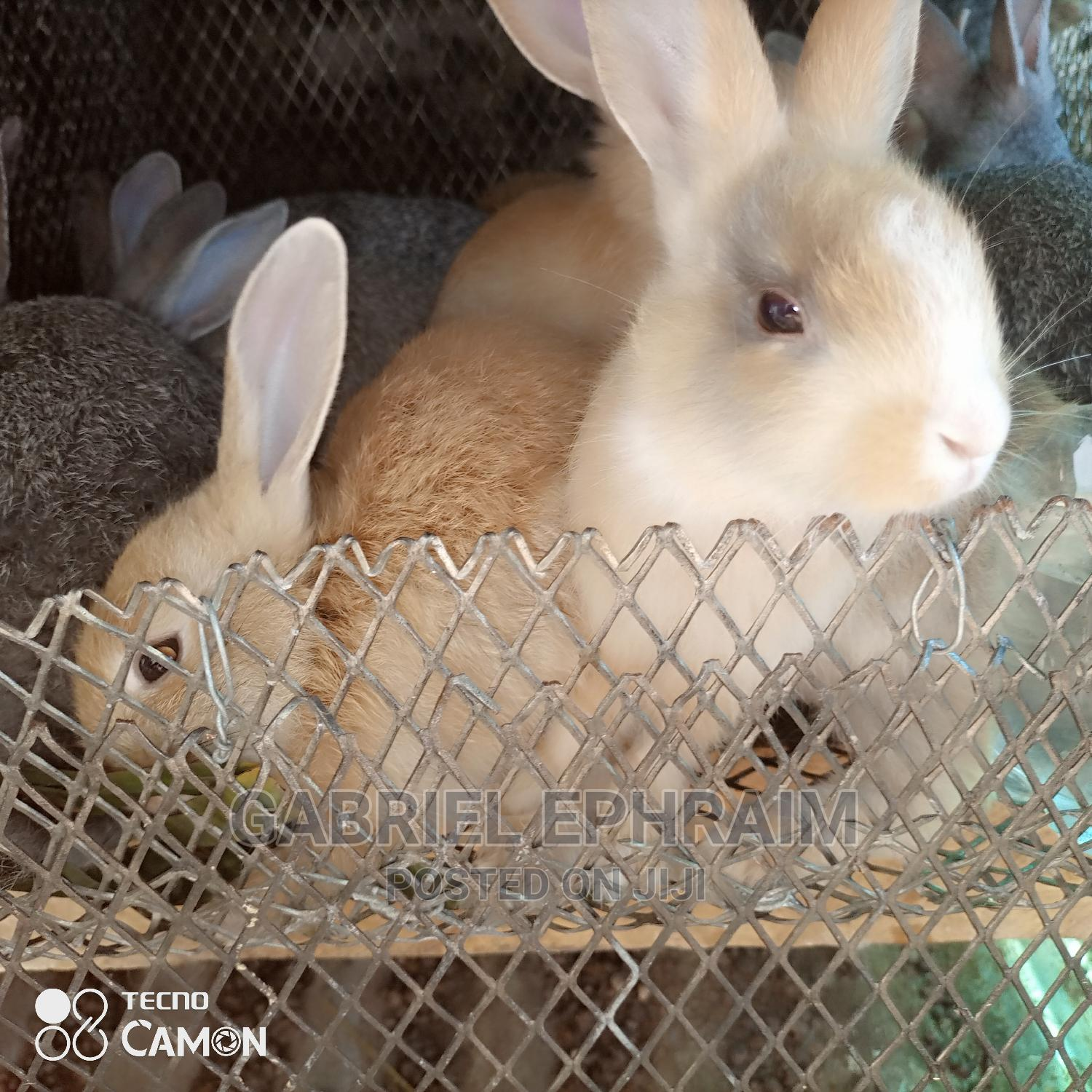 Foreign Rabbit's | Livestock & Poultry for sale in Eleme, Rivers State, Nigeria