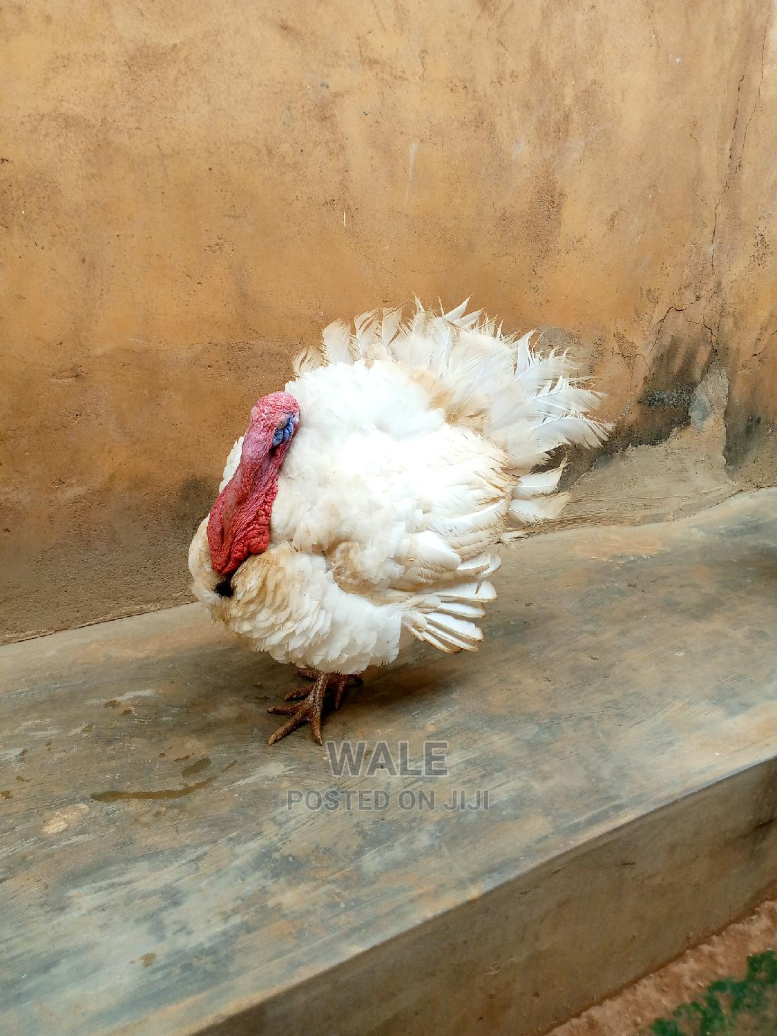 Archive: Life Big Turkey for Sale