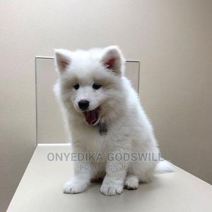 1-3 Month Female Purebred American Eskimo | Dogs & Puppies for sale in Akwa Ibom State, Uyo