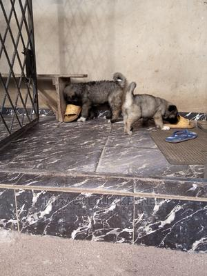 1+ Year Male Purebred Caucasian Shepherd | Dogs & Puppies for sale in Edo State, Irrua