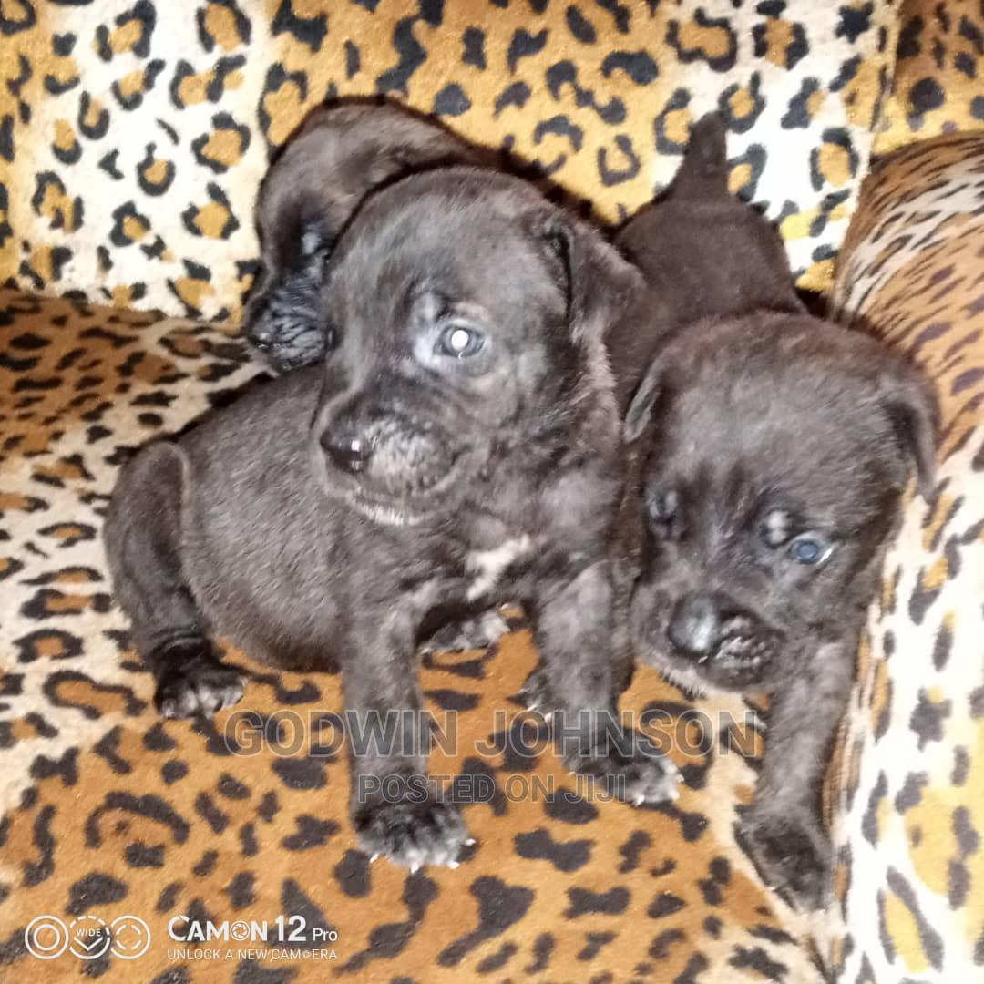 Archive: 1-3 Month Female Mixed Breed Cane Corso
