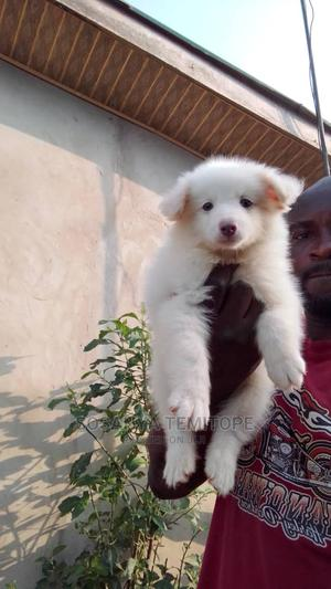 0-1 Month Female Purebred American Eskimo   Dogs & Puppies for sale in Lagos State, Surulere