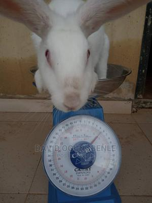 Pure Hyla NG Max | Other Animals for sale in Osun State, Osogbo