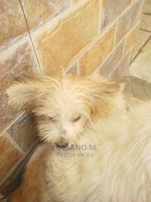 1-3 Month Male Purebred Lhasa Apso | Dogs & Puppies for sale in Abuja (FCT) State, Kubwa