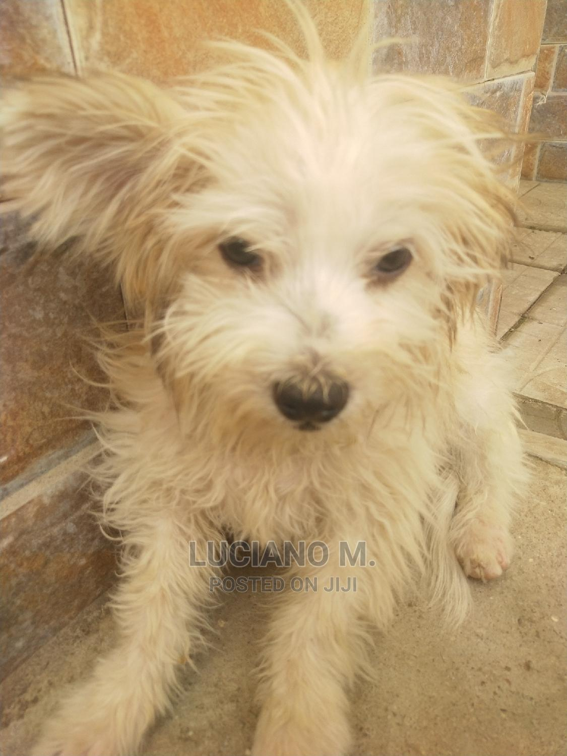 1-3 Month Male Purebred Lhasa Apso | Dogs & Puppies for sale in Kubwa, Abuja (FCT) State, Nigeria