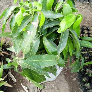 MANGO Seedlings Dwarf | Feeds, Supplements & Seeds for sale in Oyo State, Ibadan