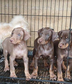 1-3 Month Female Purebred Doberman Pinscher | Dogs & Puppies for sale in Lagos State, Ikoyi