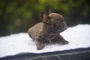 1-3 Month Male Purebred Bulldog | Dogs & Puppies for sale in Lagos State, Ikoyi