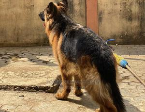 1+ Year Female Purebred German Shepherd | Dogs & Puppies for sale in Lagos State, Ikoyi