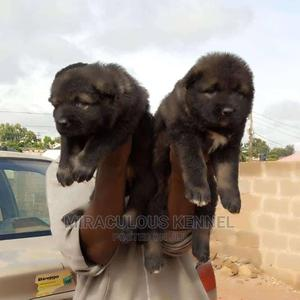 1-3 month Female Purebred Rottweiler | Dogs & Puppies for sale in Delta State, Warri