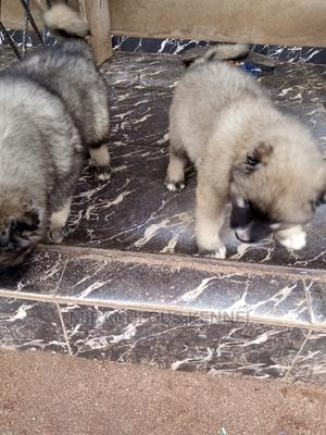 3-6 Month Male Purebred Caucasian Shepherd   Dogs & Puppies for sale in Delta State, Uvwie
