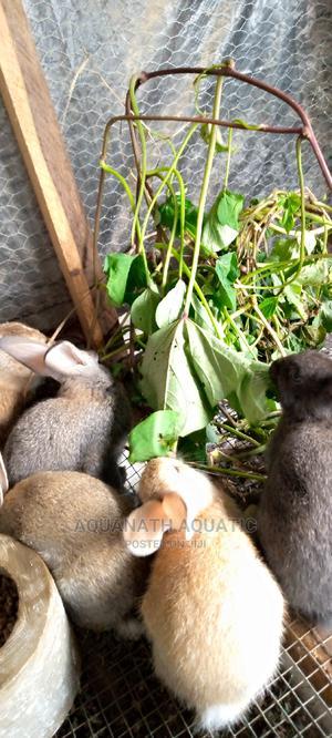 Weaner Rabbit   Livestock & Poultry for sale in Ogun State, Odeda