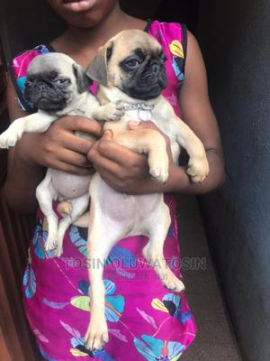 1-3 Month Male Purebred Pug | Dogs & Puppies for sale in Lagos State, Ikoyi