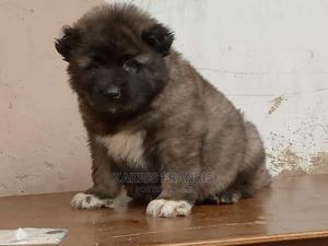0-1 Month Female Purebred Caucasian Shepherd | Dogs & Puppies for sale in Plateau State, Jos