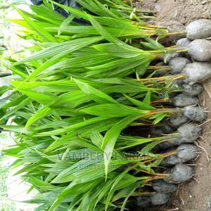 Dwarf Coconut Seedlings | Feeds, Supplements & Seeds for sale in Oyo State, Ibadan