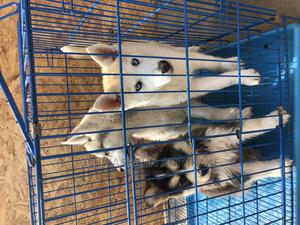 1-3 Month Female Purebred Siberian Husky | Dogs & Puppies for sale in Lagos State, Ikorodu