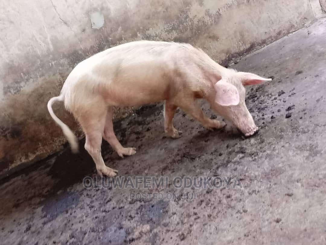 Archive: Large White Sow for Sale
