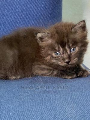 0-1 Month Male Purebred Persian   Cats & Kittens for sale in Lagos State, Surulere