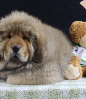 1-3 Month Female Purebred Tibetan Mastiff | Dogs & Puppies for sale in Lagos State, Ikoyi